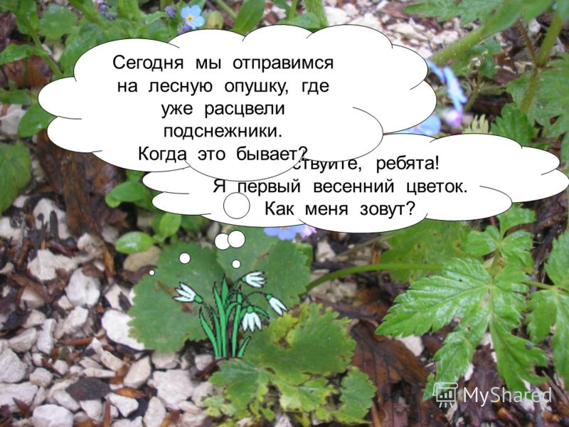 Здравствуйте, ребята! Я первый весенний цветок. Как меня зовут? Сегодня мы отправимся на лесную опушку, где уже расцвели подснежники. Когда это бывает?