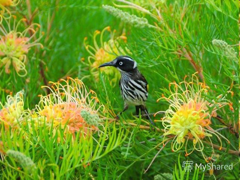 Самые яркие по окраске птицы тоже живут в Австралии