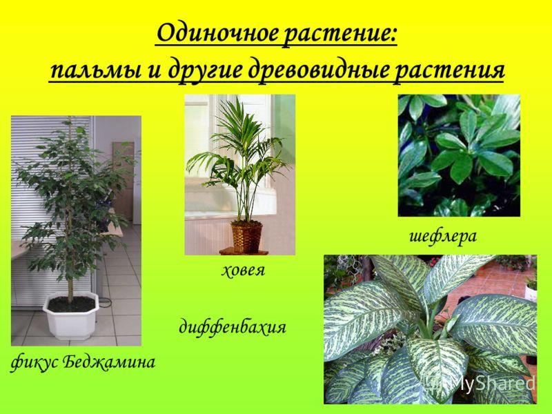 Одиночное растение: пальмы и другие древовидные растения фикус Беджамина диффенбахия ховея шефлера
