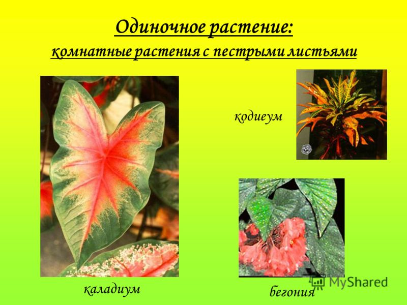 Одиночное растение: комнатные растения с пестрыми листьями каладиум бегония кодиеум