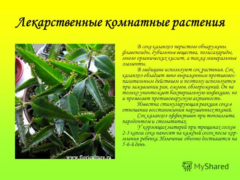 Лекарственные комнатные растения В соке каланхоэ перистого обнаружены флавоноиды, дубильные вещества, полисахариды, много органических кислот, а также минеральные элементы. В медицине используют сок растения. Сок каланхоэ обладает явно выраженным про