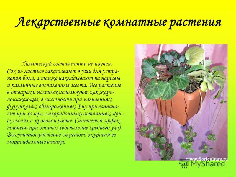 Химический состав почти не изучен. Сок из листьев закапывают в уши для устра- нения боли, а также накладывают на нарывы и различные воспаленные места. Все растение в отварах и настоях используют как жаро- понижающее, в частности при нагноениях, фурун
