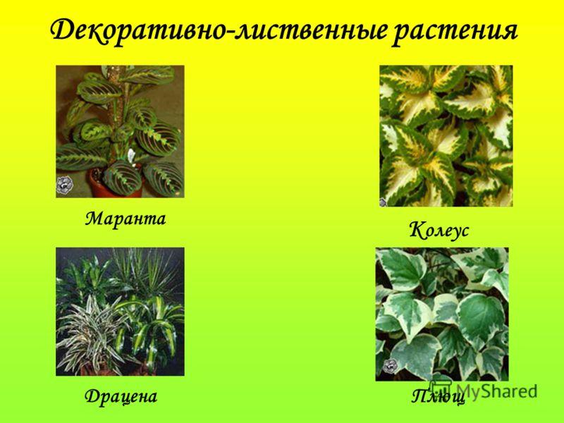 Декоративно-лиственные растения Маранта К олеус ДраценаПлющ