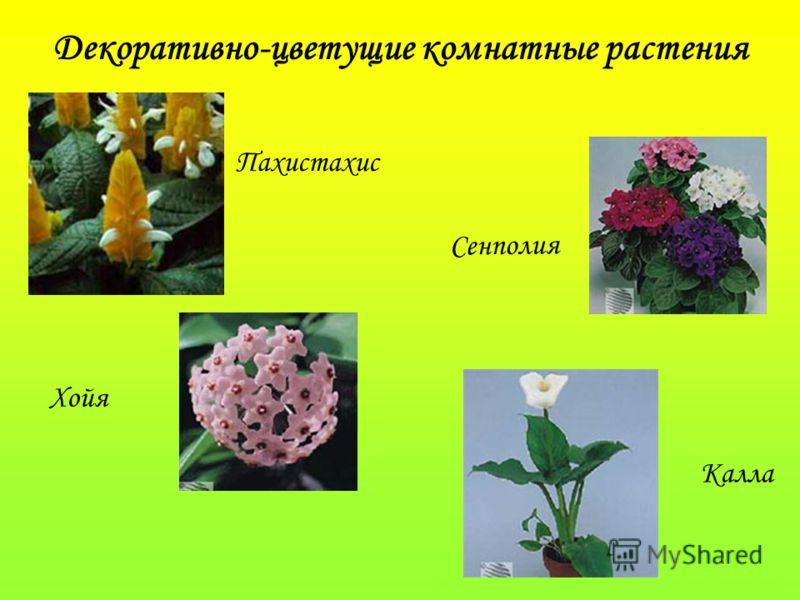 Декоративно-цветущие комнатные растения Пахистахис Хойя Сенполия Калла