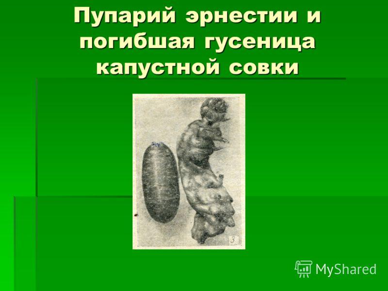 Пупарий эрнестии и погибшая гусеница капустной совки
