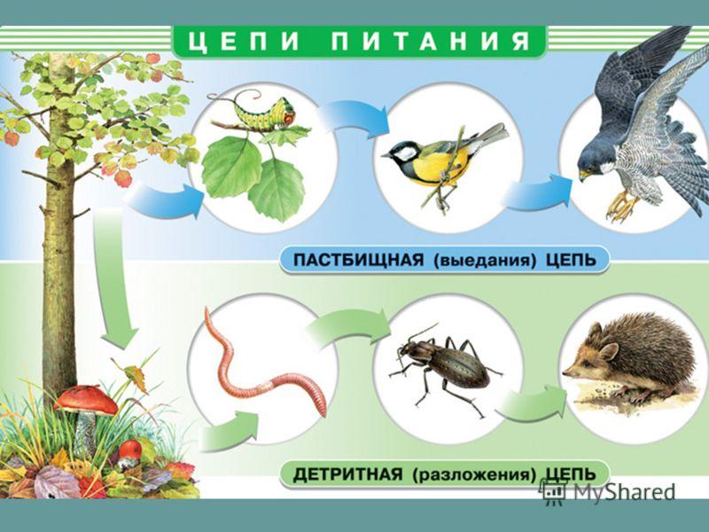 Цепи питания отдельные ветви пищевой сети, по которым передаются вещество и энергия.