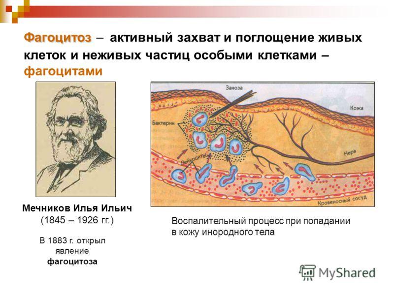 Фагоцитоз Фагоцитоз – активный захват и поглощение живых клеток и неживых частиц особыми клетками – фагоцитами Мечников Илья Ильич (1845 – 1926 гг.) В 1883 г. открыл явление фагоцитоза Воспалительный процесс при попадании в кожу инородного тела