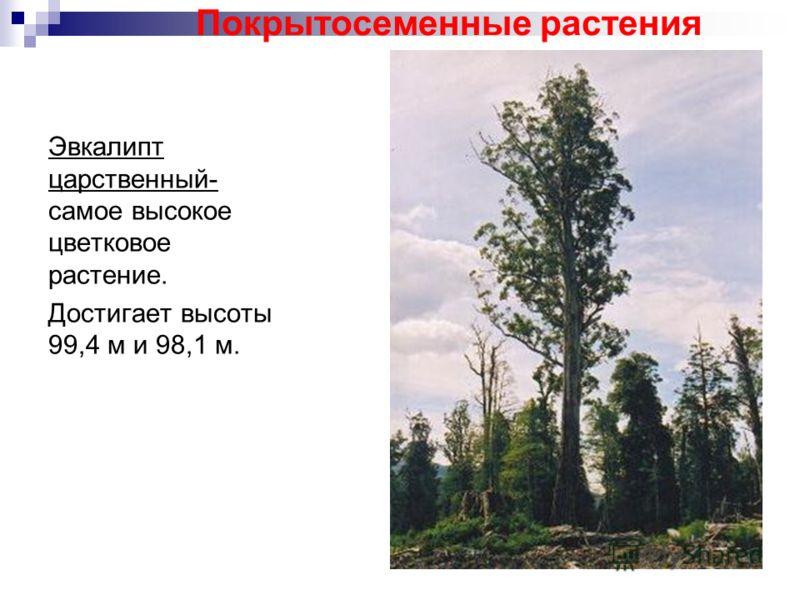 Эвкалипт царственный- самое высокое цветковое растение. Достигает высоты 99,4 м и 98,1 м. Покрытосеменные растения