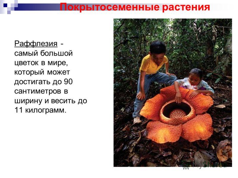 Раффлезия - самый большой цветок в мире, который может достигать до 90 сантиметров в ширину и весить до 11 килограмм. Покрытосеменные растения