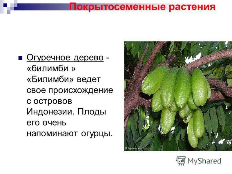 Огуречное дерево - «билимби » «Билимби» ведет свое происхождение с островов Индонезии. Плоды его очень напоминают огурцы. Покрытосеменные растения