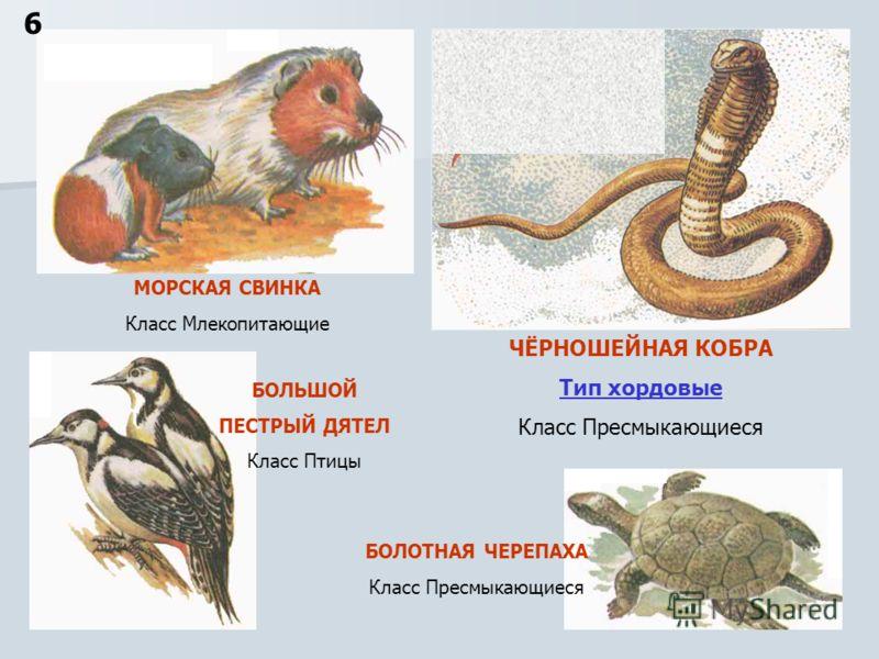 ЧЁРНОШЕЙНАЯ КОБРА Тип хордовые Класс Пресмыкающиеся 6 БОЛОТНАЯ ЧЕРЕПАХА Класс Пресмыкающиеся БОЛЬШОЙ ПЕСТРЫЙ ДЯТЕЛ Класс Птицы МОРСКАЯ СВИНКА Класс Млекопитающие