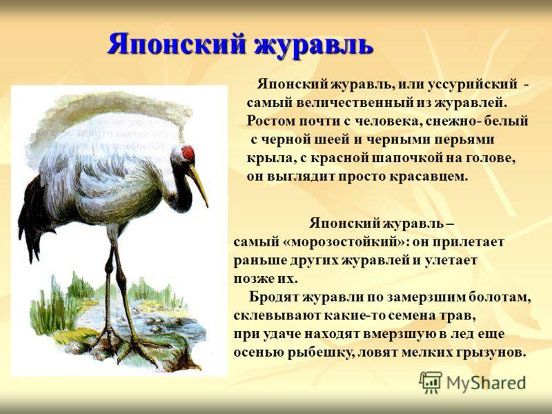 Японский журавль Японский журавль, или уссурийский - самый величественный из журавлей. Ростом почти с человека, снежно- белый с черной шеей и черными перьями крыла, с красной шапочкой на голове, он выглядит просто красавцем. Японский журавль – самый