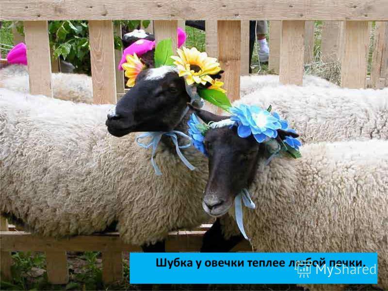 Шубка у овечки теплее любой печки.