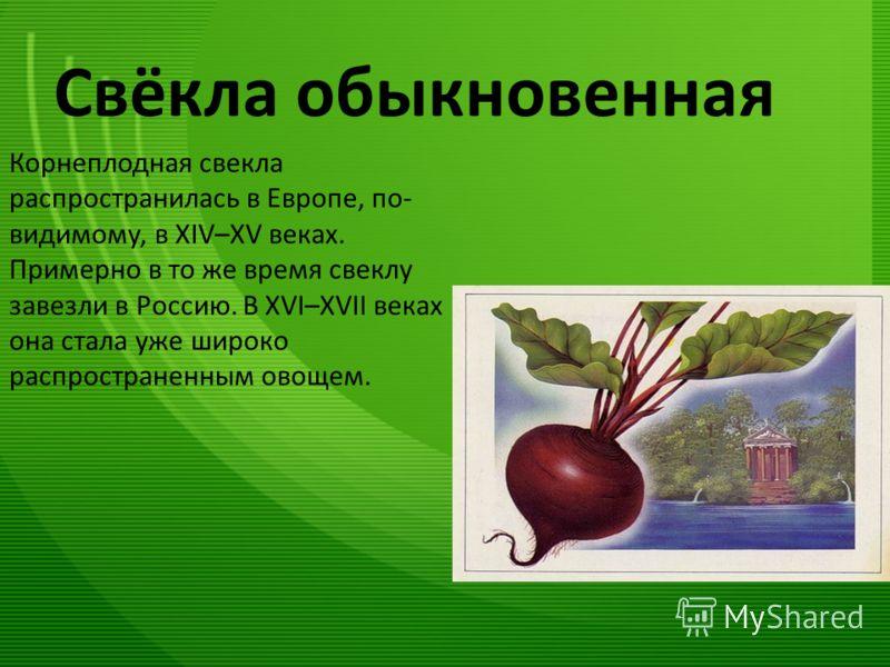Свёкла обыкновенная Корнеплодная свекла распространилась в Европе, по- видимому, в XIV–XV веках. Примерно в то же время свеклу завезли в Россию. В XVI–XVII веках она стала уже широко распространенным овощем.