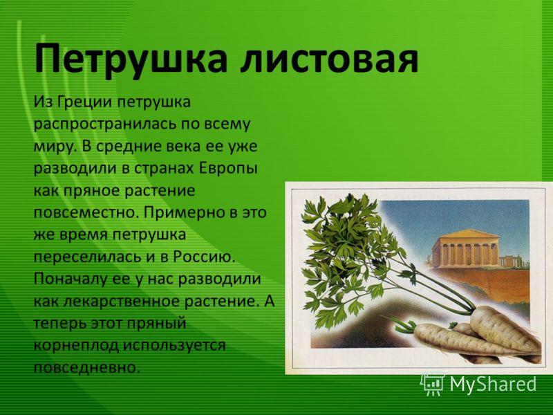Петрушка листовая Из Греции петрушка распространилась по всему миру. В средние века ее уже разводили в странах Европы как пряное растение повсеместно. Примерно в это же время петрушка переселилась и в Россию. Поначалу ее у нас разводили как лекарстве