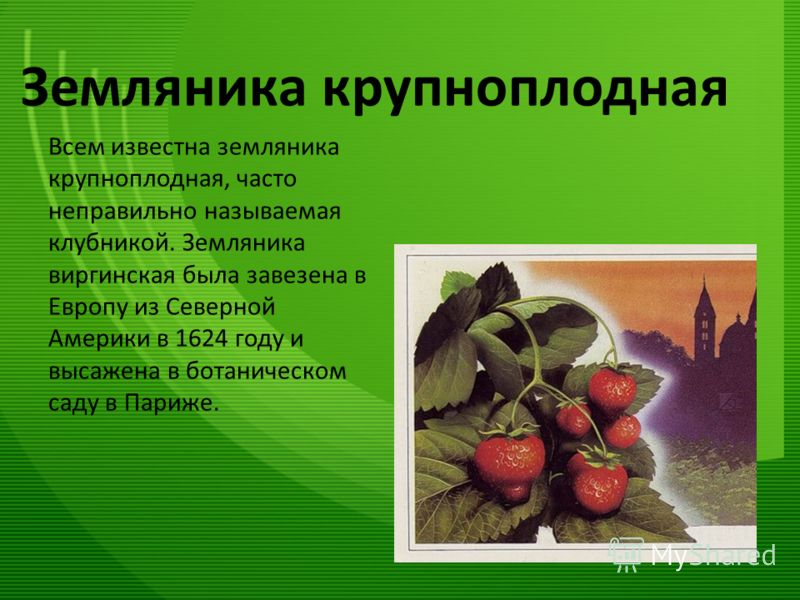 Земляника крупноплодная Всем известна земляника крупноплодная, часто неправильно называемая клубникой. Земляника виргинская была завезена в Европу из Северной Америки в 1624 году и высажена в ботаническом саду в Париже.
