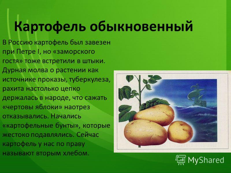 Картофель обыкновенный В Россию картофель был завезен при Петре I, но «заморского гостя» тоже встретили в штыки. Дурная молва о растении как источнике проказы, туберкулеза, рахита настолько цепко держалась в народе, что сажать «чертовы яблоки» наотре