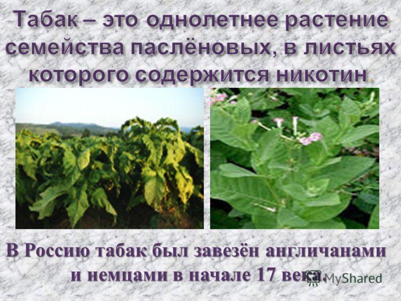 В Россию табак был завезён англичанами и немцами в начале 17 века. и немцами в начале 17 века.