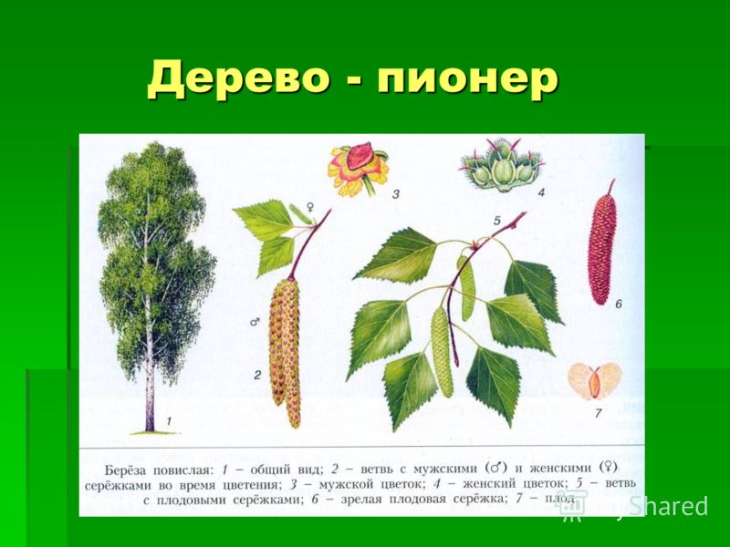 Дерево - пионер Дерево - пионер