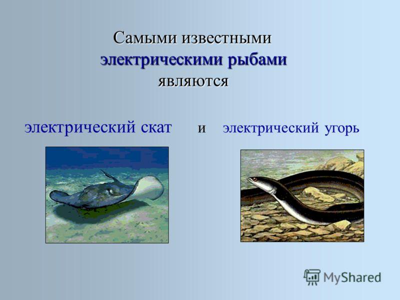 Самыми известными электрическими рыбами являются электрический скат электрический угорьи