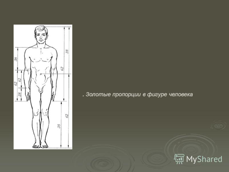 . Золотые пропорции в фигуре человека