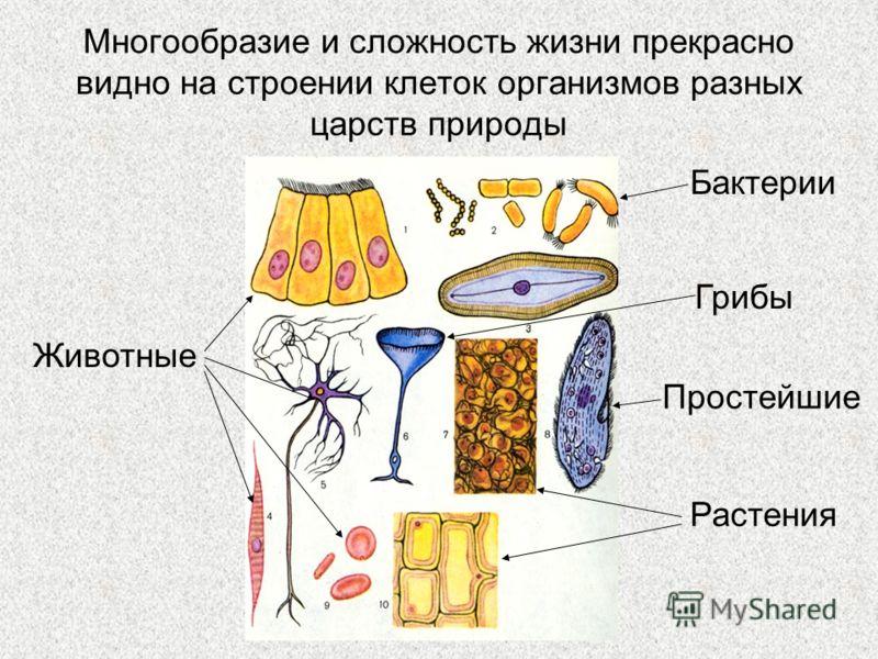 Многообразие и сложность жизни прекрасно видно на строении клеток организмов разных царств природы Бактерии Грибы Простейшие Растения Животные