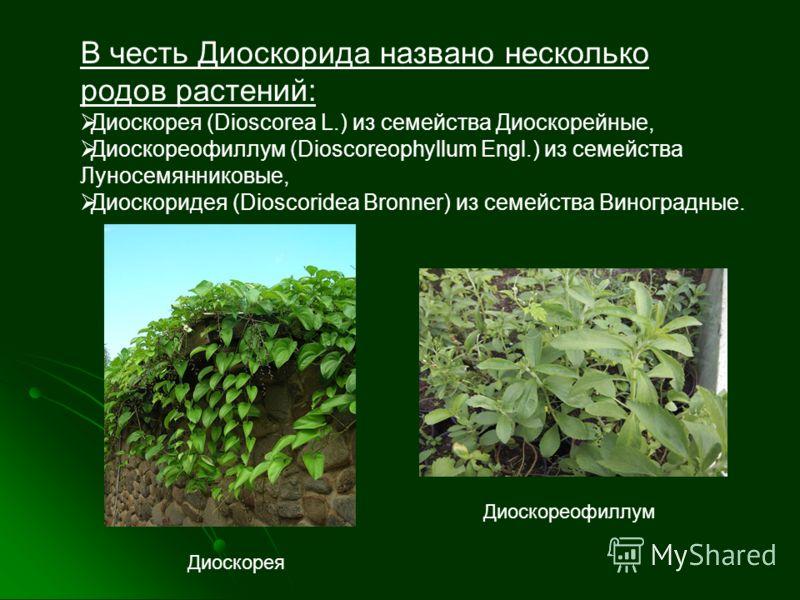 В честь Диоскорида названо несколько родов растений: Диоскорея (Dioscorea L.) из семейства Диоскорейные, Диоскореофиллум (Dioscoreophyllum Engl.) из семейства Луносемянниковые, Диоскоридея (Dioscoridea Bronner) из семейства Виноградные. Диоскорея Дио