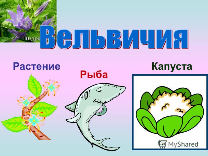 Растение Рыба Капуста
