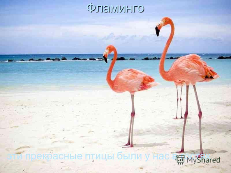 Фламинго эти прекрасные птицы были у нас в гостях