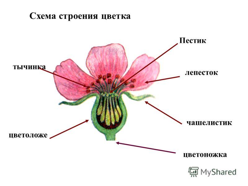Фото цветка и его строение