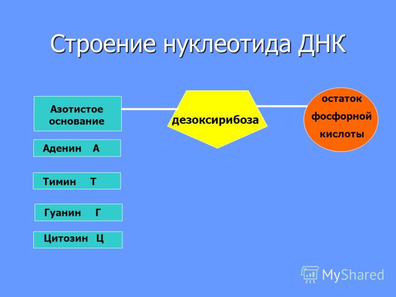 Строение нуклеотида ДНК Азотистое основание дезоксирибоза остаток фосфорной кислоты Аденин А Гуанин Г Тимин Т Цитозин Ц