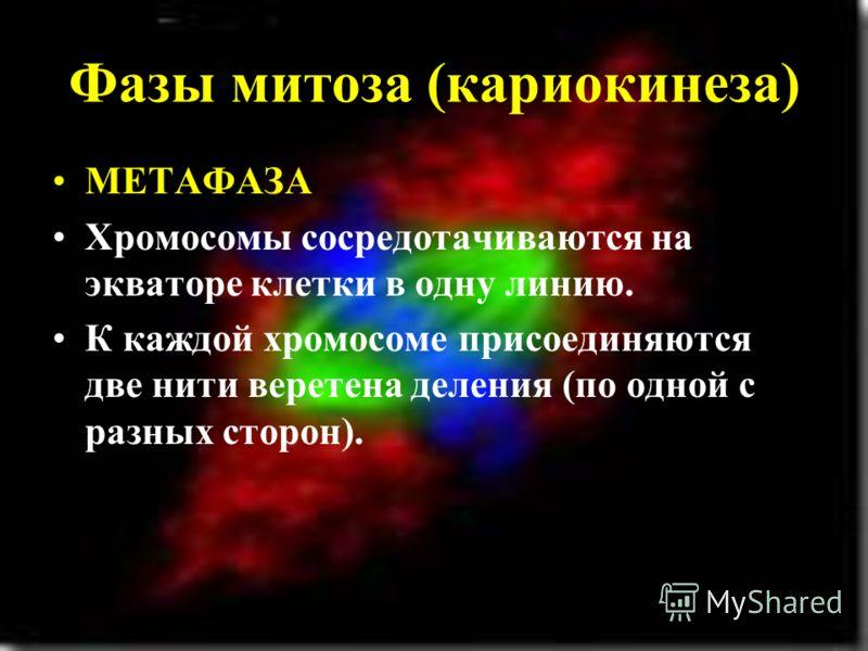 Фазы митоза (кариокинеза) МЕТАФАЗА Хромосомы сосредотачиваются на экваторе клетки в одну линию. К каждой хромосоме присоединяются две нити веретена деления (по одной с разных сторон).