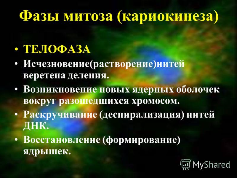 Фазы митоза (кариокинеза) ТЕЛОФАЗА Исчезновение(растворение)нитей веретена деления. Возникновение новых ядерных оболочек вокруг разошедшихся хромосом. Раскручивание (деспирализация) нитей ДНК. Восстановление (формирование) ядрышек.