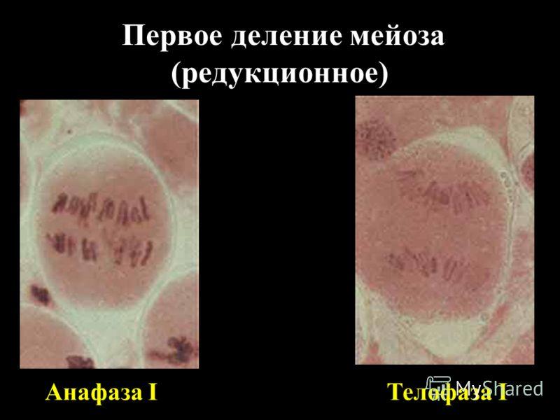 Первое деление мейоза (редукционное) Анафаза IТелофаза I