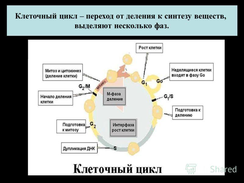 Клеточный цикл – переход от деления к синтезу веществ, выделяют несколько фаз.