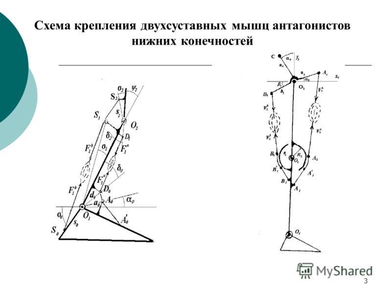 3 Схема крепления двухсуставных мышц антагонистов нижних конечностей