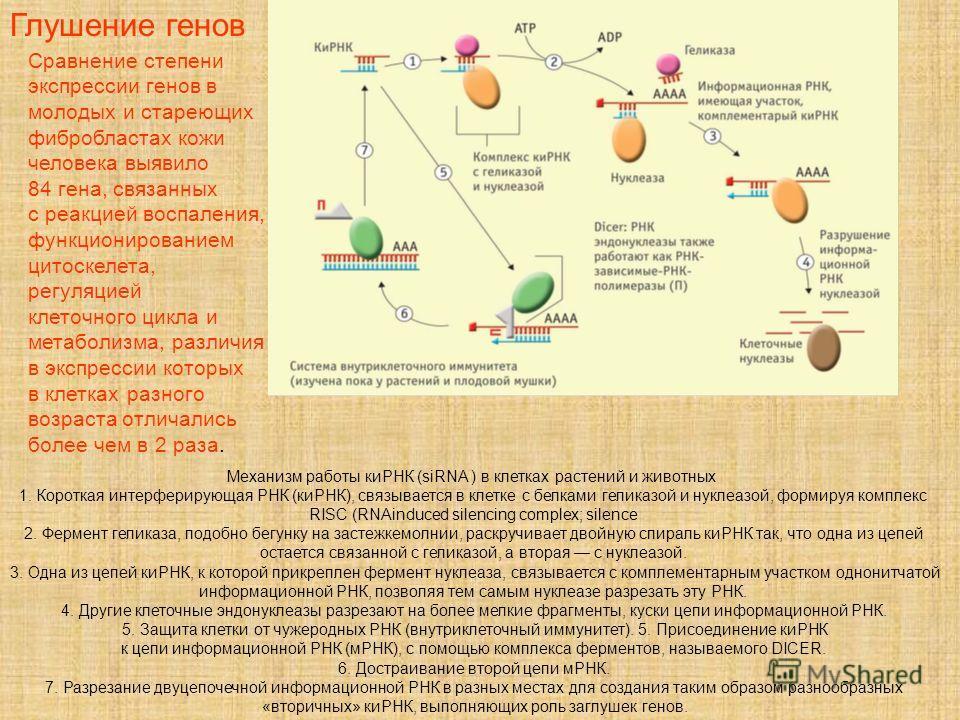 Механизм работы Кирик (siRNA ) в клетках растений и животных 1. Короткая интерферирующая РНК (Кирик), связывается в клетке с белками глюкозой и нуклеазой, формируя комплекс RISC (RNAinduced silencing complex; silence 2. Фермент геликаза, подобно бегу