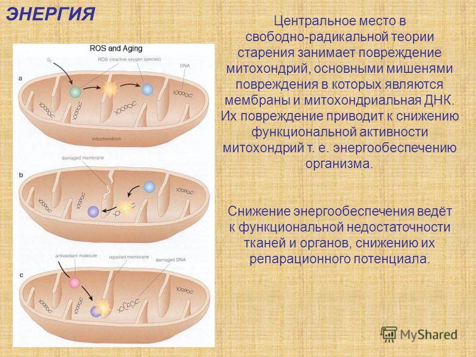 Центральное место в свободно-радикальной теории старения занимает повреждение митохондрий, основными мишенями повреждения в которых являются мембраны и митохондриальная ДНК. Их повреждение приводит к снижению функциональной активности митохондрий т.