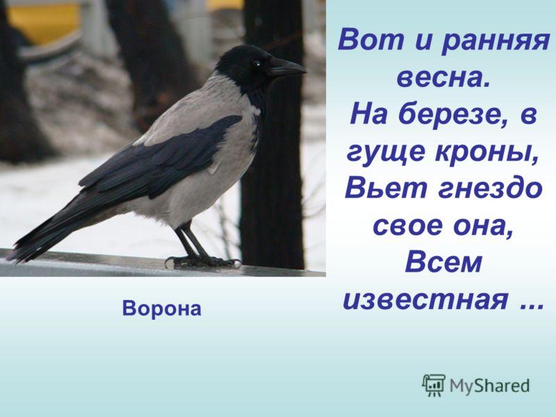 Вот и ранняя весна. На березе, в гуще кроны, Вьет гнездо свое она, Всем известная... Ворона
