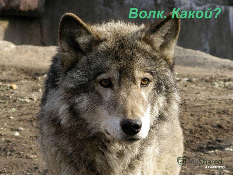 Волк. Какой?