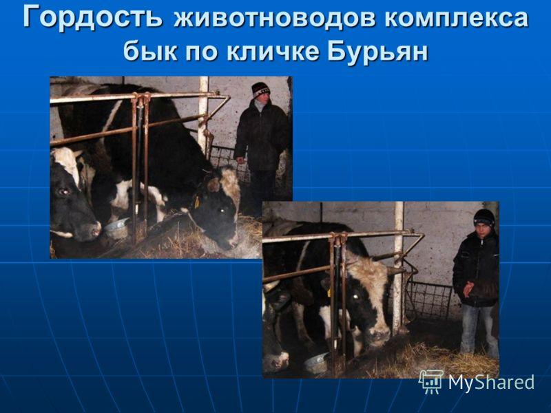 Гордость животноводов комплекса бык по кличке Бурьян