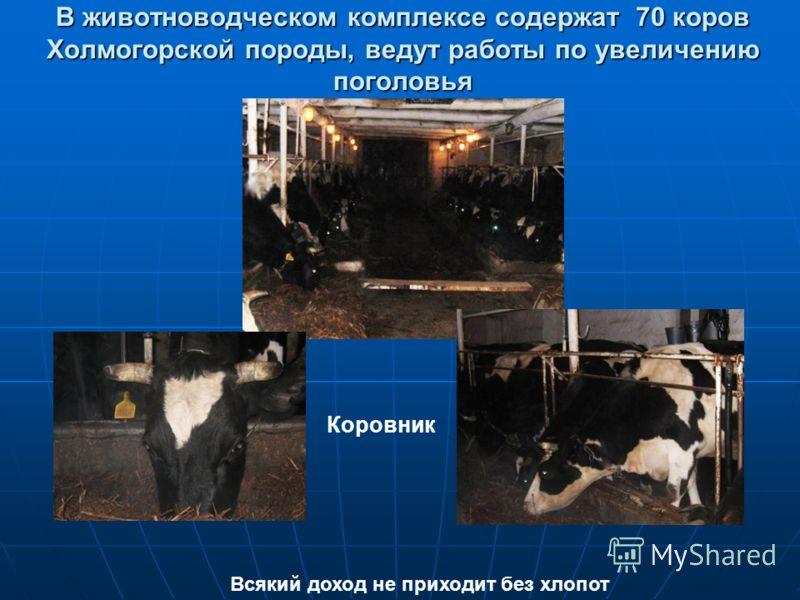 В животноводческом комплексе содержат 70 коров Холмогорской породы, ведут работы по увеличению поголовья Всякий доход не приходит без хлопот Коровник