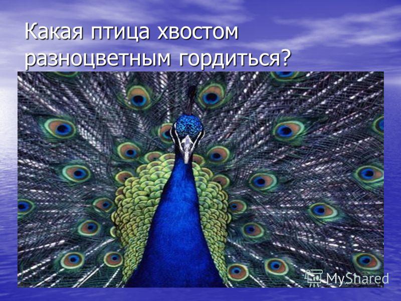 Какая птица хвостом разноцветным гордиться?
