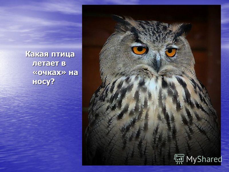 Какая птица летает в «очках» на носу?