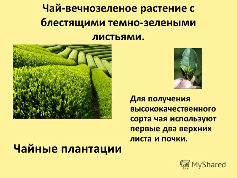 Чай-вечнозеленое растение с блестящими темно-зелеными листьями. Чайные плантации Для получения высококачественного сорта чая используют первые два верхних листа и почки.