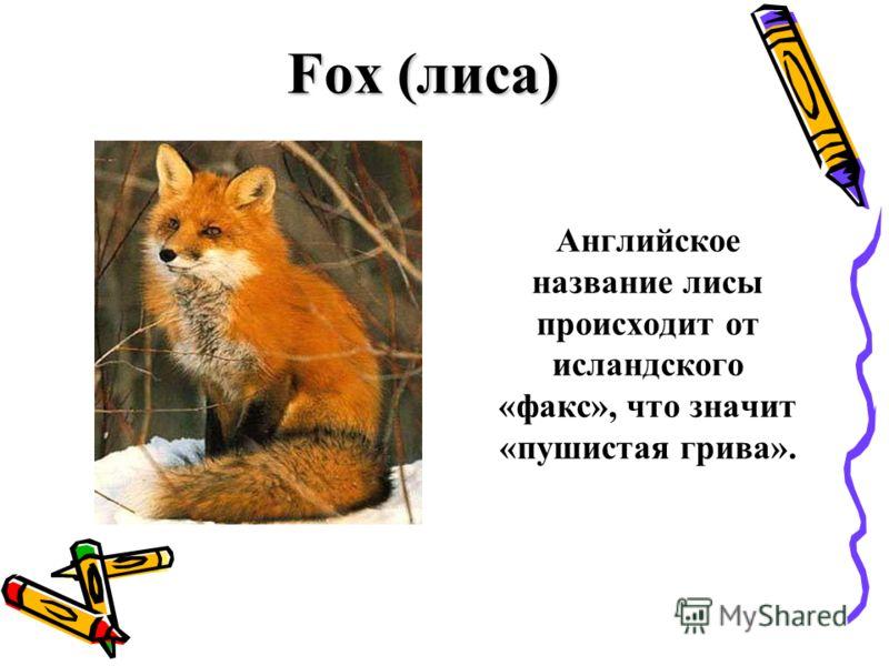 Fox (лиса) Английское название лисы происходит от исландского «факс», что значит «пушистая грива».