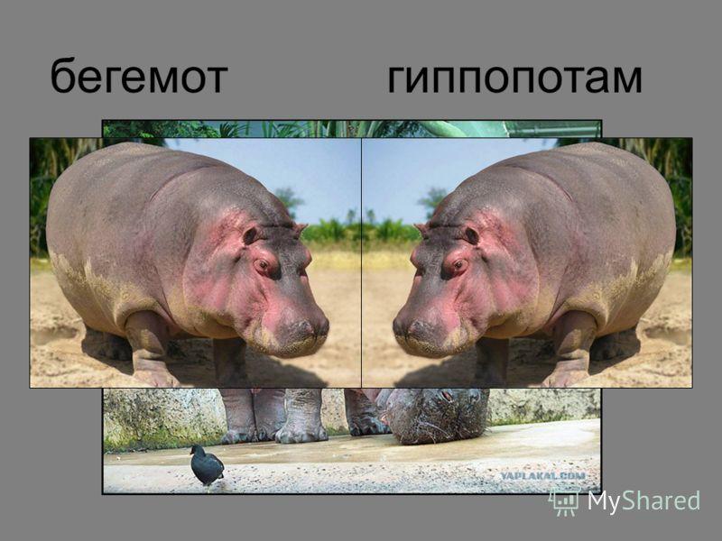 бегемотгиппопотам