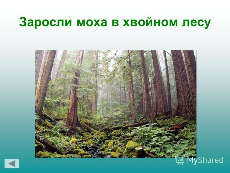 Заросли моха в хвойном лесу