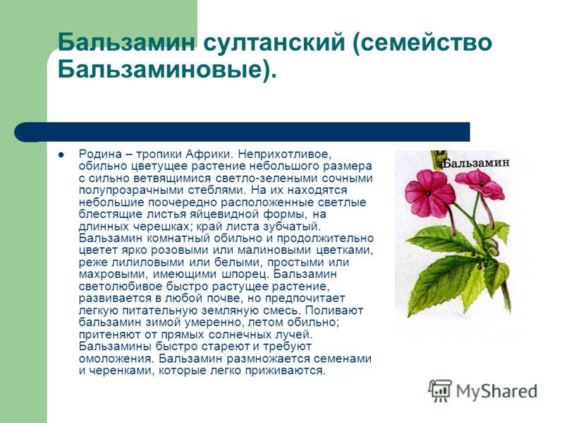 Бальзамин султанский (семейство Бальзаминовые). Родина – тропики Африки. Неприхотливое, обильно цветущее растение небольшого размера с сильно ветвящимися светло-зелеными сочными полупрозрачными стеблями. На их находятся небольшие поочередно расположе