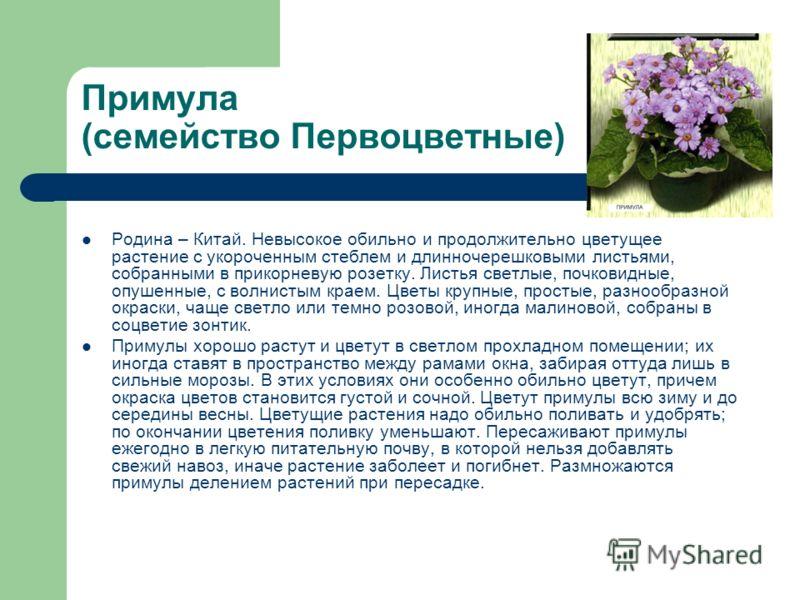Примула (семейство Первоцветные) Родина – Китай. Невысокое обильно и продолжительно цветущее растение с укороченным стеблем и длинночерешковыми листьями, собранными в прикорневую розетку. Листья светлые, почковидные, опушенные, с волнистым краем. Цве